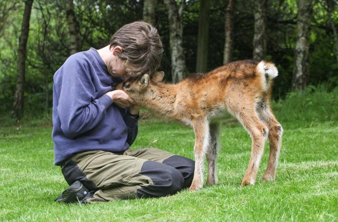 Orphan reindeer being hand-reared 16 of 25